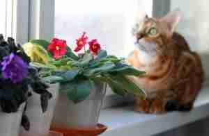 cat-looking-out-a-window-near-potted-red-flowers