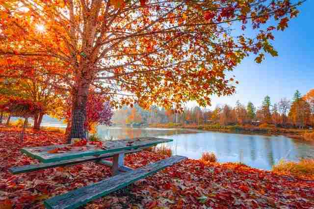 large tree in the fall with orange leaves and leaves on the ground near a park lunch table and lake